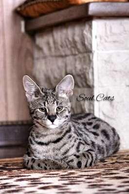 Купить Саванну F1 питомника Soul. Cats