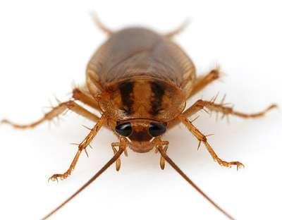 Средство уничтожения тараканов и клопов в Хабаровске Фото 1