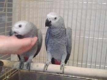 Попугаи Жако в Москве Фото 2