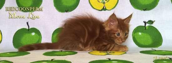 Котенок мейн кун красный солид. Шоу класс в Перми Фото 3