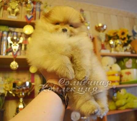 Продаются щенки шпица в медвежьем типе светлого окраса в Москве Фото 5