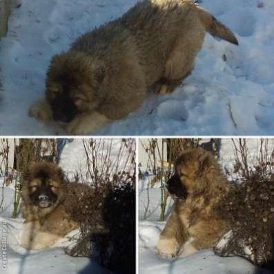 кавказской овчсарки щенок из питомника